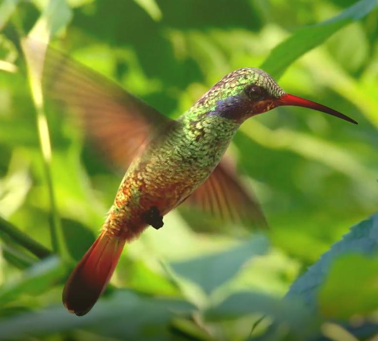 humming birdmo